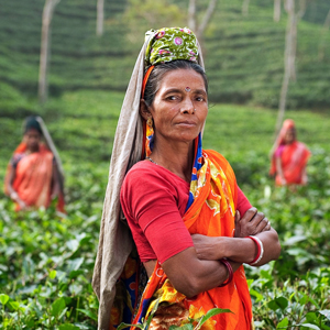 Colourful image of Indian women in a tea field